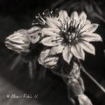 Flor de planta crasa