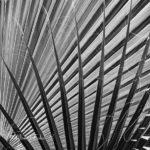 Fulles de palmera