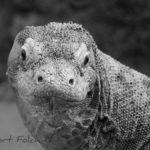 Dragó de Komodo