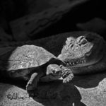 Caiman i tortuga