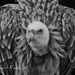 Voltor comú