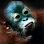 Cria d'orangutan