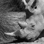 Rinoceront