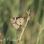 Papellones tigre (Danaus chrysyppus)
